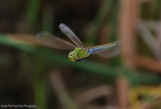 Western Pondhawk in mid-flight
