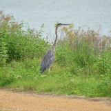 Great Blue Heron overlooks the water at the trail