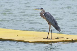 Surfing Great Heron