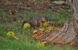 This Texas Fox Squirrel loves to munch on fresh fallen Osage Oranges.