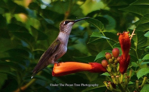 Hummingbird rests on trumpet vine blossom