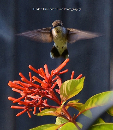 Hummingbird hovers over firebush blossoms
