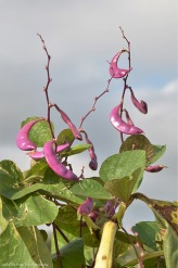 Hyacinth Beans (I grow them for decoration. (But I also know, they are eaten in Kenya and Vietnam.)