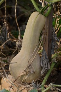 Hmmm, Tonya's butternut squashes look very healthy and delicious.
