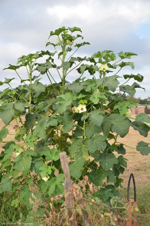 This is about a 8 to 9 feet okra plant.