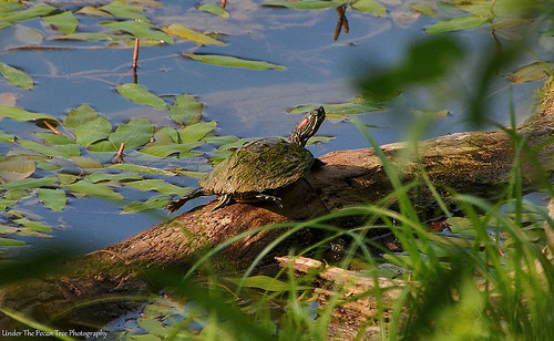 A Red-eared Slider Turtle rests on a tree stomp.