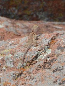 Female Collared Lizard on Mount Scott