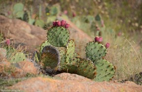 Opuntia (I call it 'Prickle Pear Cactus') near the Quanah Parker Dam