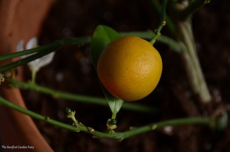 When I re-potted the calamondin orange tree, I saw one ripe fruit and several new fruit buds.