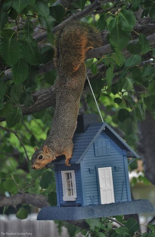 Sneaky Mr. Squirrel tries to get a snack from the bird feeder.