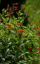 Milkweed (Asclepias curassavica) and Scarlet Sage (Salvia coccinea)