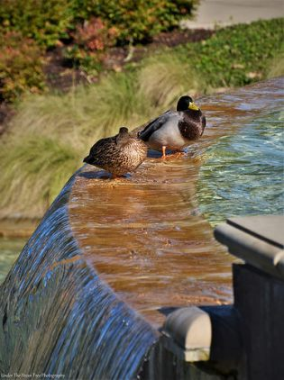 A couple of Mallard Ducks take a nap at the Rockwall Harbor Fountain. The warm rays of the sun feel so good this morning.