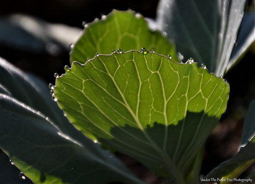 Cabbage Dew Droplets