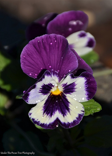 Pansies for a more colorful Community Garden