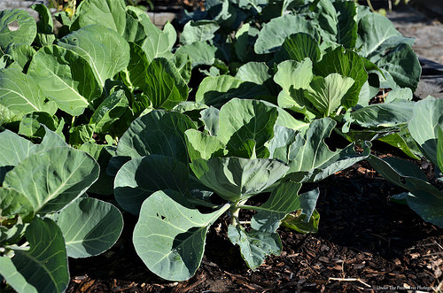 Katie's cabbages are coming along very well.