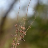 Wilted Ragweed