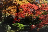 Japanese Maple with the Tea House in the background