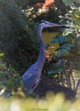 "This Great Blue Heron calls the Japanese Garden his home for a while. The staff named him ""Gobbler""."