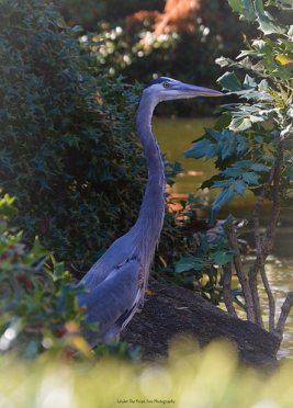 """This Great Blue Heron calls the Japanese Garden his home for a while. The staff named him """"Gobbler""""."""