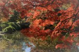 Autumn Japanese Maple