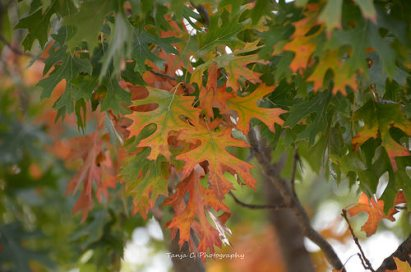 Autumn Oak Leaves (2012)