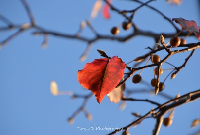Autumn Bradford Pear Leaf (2012)
