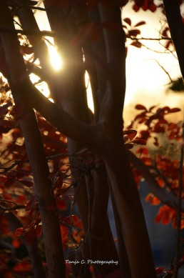 Autumn Crape Myrtle Sunset (2012)
