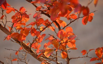 Autumn Crape Myrtle Leaves (2012)