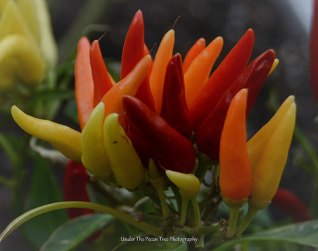 """Fire"" ~ Ornamental Pepper"