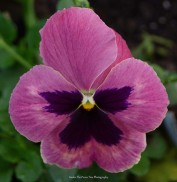 Mammoth Pink Berry Pansy