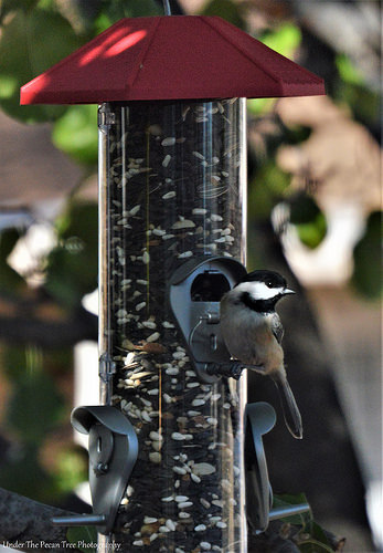 The chickadee likes the new feeder I set up for the birds.