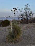 Yucca in the new Mexico desert less than a mile from the Texas/New Mexico border.