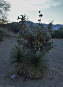 Yucca and Cane Cholla Cactus
