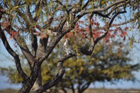 Not a typical white-winged dove for Arizona, but a Eurasion colored dove sits in the tree.
