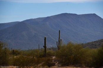 Saguaro cacti in the Arizona desert
