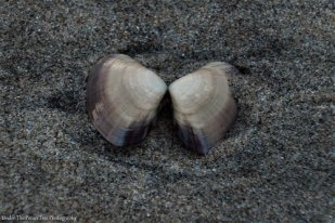 A lonely shell in the beach sand
