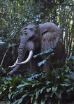 Big African elephant in the jungle