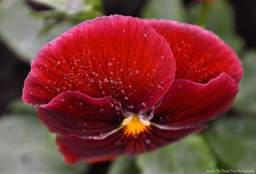 Pansy droplets