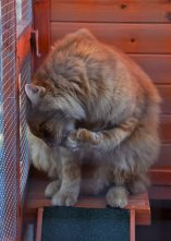 "Chewbacca uses the chance to groom himself, while he's ""trapped"" in the catio."
