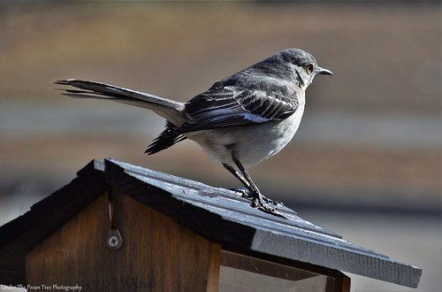 The mocking bird didn't mind, I was so close to it.