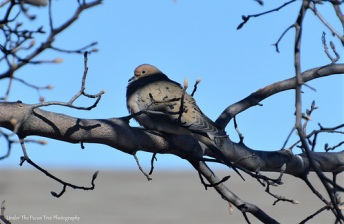 The Mourning Dove is a feathery puff ball.