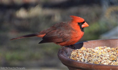 Mr. Cardinal enjoys seeds and peanut butter.