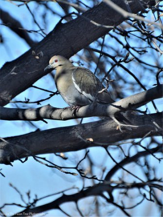The White-winged Dove just joint the clan.
