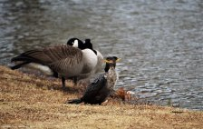 A Double-crested Cormorant couple rests next to a Canada Goose couple by the pond.