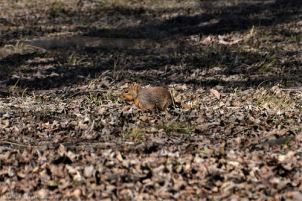 One lonely squirrel looks for a buried nut in the park.