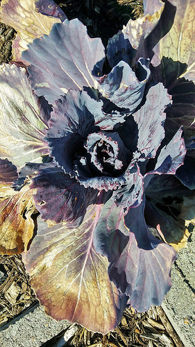 My Red Cabbages survived the freeze. They start to build solid heads, now.