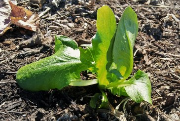 Romaine Lettuce; I probably have to cover this plant up toward the weekend.