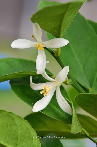 Beautiful blossoms of the lemon tree. I love their fragrance.