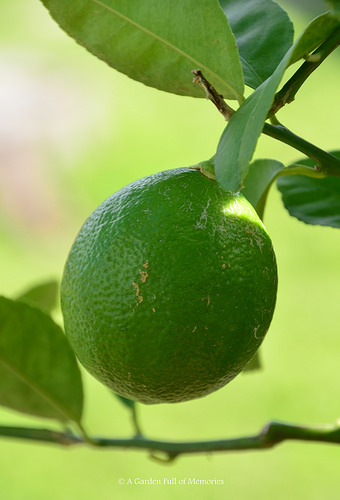 The first lemon is still green. But we hope to get more lemons, soon.