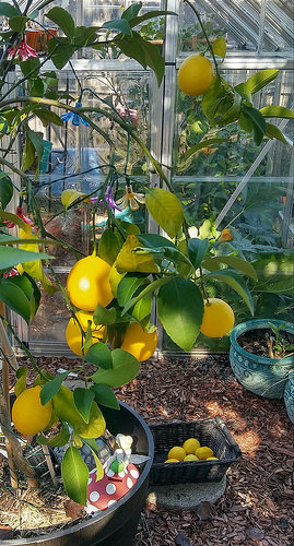 The Meyer Lemons are ready for the harvest (2016).